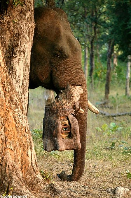 african elephant facts. page african elephants,